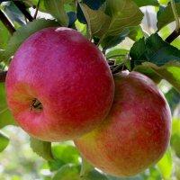 Яблоки в сентябрьском саду :: Надежд@ Шавенкова