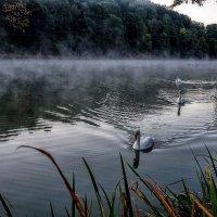 Белые лебеди выплывают из тумана.. :: igor G.