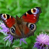 О бабочках :: Милешкин Владимир Алексеевич