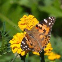 Прелестная бабочка :: lady v.ekaterina