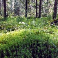 Утро в лесу. :: Жанна Викторовна