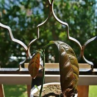 растим манго на балконе :: Александр Корчемный