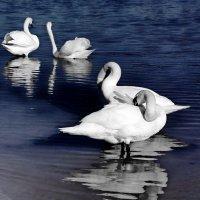 Лебеди. :: Liudmila LLF