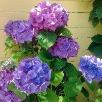 Гортензии в саду :: Вера
