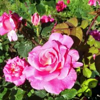 Розы :: veera (veerra)