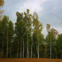 Ветер в березовой роще :: Евгения Кирильченко