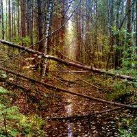 заболоченный лес :: Владимир
