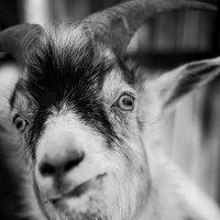 Портрет козы... :: Влад Никишин
