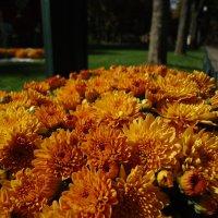 Хризантемы цветом в осень :: Ирина