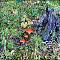 Эти грибы я знаю..и только! :: Александр Шимохин