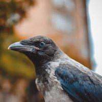 Ворона :: Игорь Денисов
