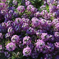 Цветики :: ninell nikitina