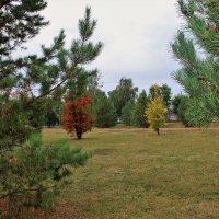 У берез и сосен тихо бродит осень. :: венера чуйкова