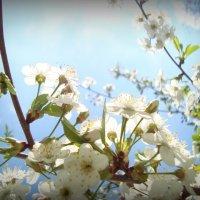 Вишня цветет :: Евгения Х