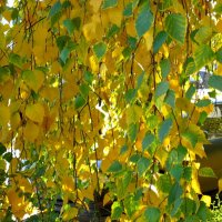 Золотая занавесочка :: Надежда