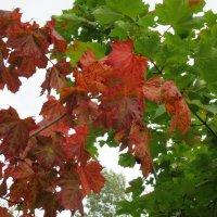 Кленовый лист манит красой, весь с окантовкою резной, раскрашен мастерски природой :: Елена Павлова (Смолова)