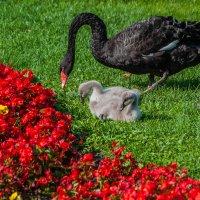 Черный лебедь. :: Макс Беккер