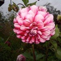 Цветут георгины :: BoxerMak Mak