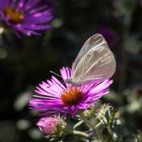 Бабочка на цветке :: Алена Д