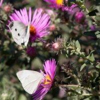Бабочки :: Алена Д