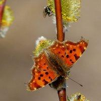 про рыжих бабочек 3 :: Александр Прокудин