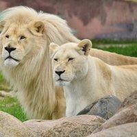 Белые львы - семейный портрет :: Татьяна Каневская