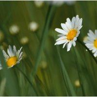 Полевые цветы. :: Paparazzi