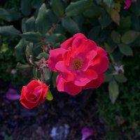 Розы :: dindin