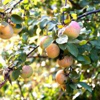 плоды :: cfysx
