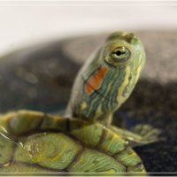 Портрет черепахи :: Анастасия Сосновская