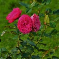 Розы Бабьего лета... :: Sergey Gordoff