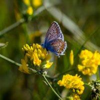 Голубянка-маленькая бабочка. :: Владимир M