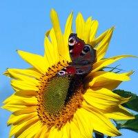 Бабочка на солнышке. :: Виктор Колмогоров