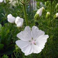 Белые цветики лета :: Анатолий Кувшинов