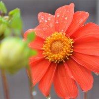 Осенние цветы так стойки,ко всем невзгодам сентября... :: Наталья Natupans