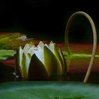 Прекрасной лилии цветок :: Наталья Кузнецова