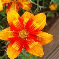 Биденс / Coreopsis ferulifolia :: laana laadas