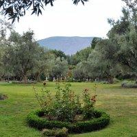 Оливковая роща в парке Айвазовского. Холст: NIKON Краски: Лето. :: Наталья Natupans