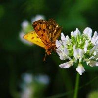 Бабочка и клевер. :: Ирина