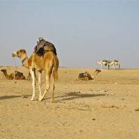 верблюды в пустыне :: НАТАЛЬЯ