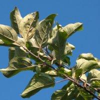 Ветка яблони :: lady v.ekaterina