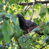 Мой голубь сизокрылый. :: Венера Чуйкова