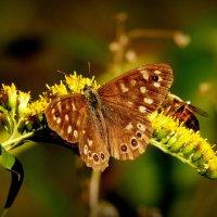 октябрьские бабочки (ещё не заснувшие) 2 :: Александр Прокудин