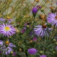 Последние цветочки осени :: Светлана Рябова-Шатунова
