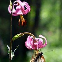 Боярышница на полевой лилии :: Nina Streapan