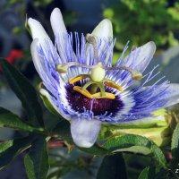Цветок пассифлоры. :: Валерьян Запорожченко