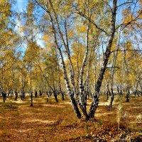 Осень в роще :: Mikhail Irtyshskiy
