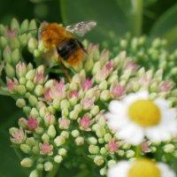 """""""Пчела и яичница"""" или не очень резкое макро.. ;-) Корррект- ШМЕЛЬ ! :: Alexey YakovLev"""