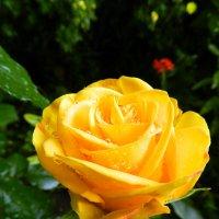 Солнечная роза после дождя :: Анатолий Кувшинов