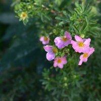 Розовые цветы :: dindin